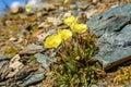 Yellow poppy flowers mountains closeup Royalty Free Stock Photo