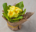 Yellow primrose the pot of flowering primula on a gray background Stock Photography