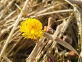 Yellow primrose Tussilago against the background of last year`s dead grass. Bright flower head on a Sunny day