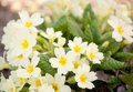 Yellow primroses Stock Photography