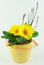 Yellow primroses in a flower pot Royalty Free Stock Images