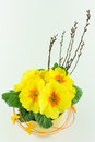 Yellow primroses in a flower pot Royalty Free Stock Image