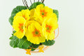 Yellow primroses in a flower pot Royalty Free Stock Photo