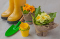 Yellow primula on a background of yellow boots and garden shovels gray Stock Photo