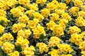 Yellow primula flowers of floral background Stock Image