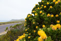 Yellow protea flower   near the road Royalty Free Stock Photography