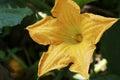 Pumpkin Flower Bud growing in the garden Royalty Free Stock Photo