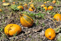 Yellow pumpkins