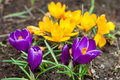 Yellow and purple crocus spring Stock Photo