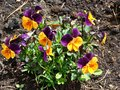 Yellow and purple pansies a bunch of viola tricolor in the garden Royalty Free Stock Photos