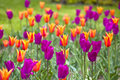 Yellow and Purple Tulips Stock Photos