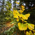 Yellow rain-wet leaves on the ginkgo tree at the beginning of autumn Royalty Free Stock Photo