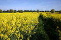 Yellow rape Stock Images