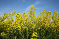 Yellow rape Royalty Free Stock Photo