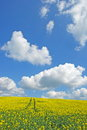 Yellow rape field and blue cloudy sky Stock Image
