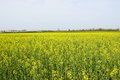 Yellow rape field Royalty Free Stock Photo