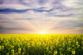 Yellow rape field at the sunset Stock Image