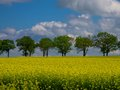 Yellow rape field with trees Royalty Free Stock Photo