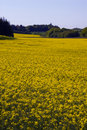 Yellow rape fields Royalty Free Stock Photo