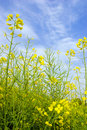 Yellow rape flower under blue sky Stock Images