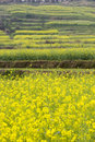 Yellow rape flowers field Stock Images