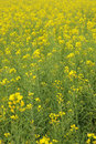 Yellow rape flowers field background Royalty Free Stock Photos