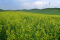 Yellow rape flowers field in inner mongolia Royalty Free Stock Photos
