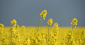 Yellow rape plant and dark sky Royalty Free Stock Photo