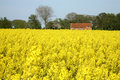 Yellow rape - Polish country Stock Images