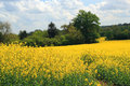 Yellow rape seed field a in the summer with a tree background Stock Images
