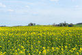 Yellow rape in spring beautiful landscape with agrarian fields near dusseldorf germany at springtime Royalty Free Stock Photos