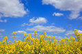 Yellow rapeseed against a bright blue sky flowers with white clouds on sunny day as spring turns into summer Royalty Free Stock Photos
