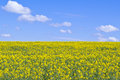 Yellow rapeseed field Royalty Free Stock Photo