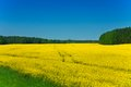 Yellow rapeseed field beautiful in late spring in poland Stock Photography