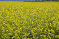 Yellow rapeseed field in bloom landscape Royalty Free Stock Photo