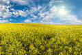 Yellow rapeseed field landscape with beautiful morning and Royalty Free Stock Images