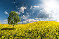 Yellow rapeseed field landscape with beautiful morning a tree in and majestic clouds in sky Royalty Free Stock Photos