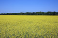 Yellow rapeseed field over clear blue sky Stock Image
