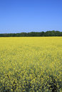 Yellow rapeseed field over clear blue sky Royalty Free Stock Photo