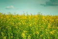 Yellow rapeseed field with in summer Royalty Free Stock Image