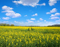 Yellow rapeseed flower field Royalty Free Stock Photo