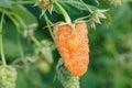 Yellow raspberry on the bush Royalty Free Stock Photo