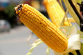 Yellow Raw Sweet Corn Royalty Free Stock Images