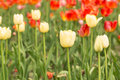 Yellow and Red Field of Tulips Holland Michigan Royalty Free Stock Photo