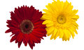 Yellow and red gerbera isolated Royalty Free Stock Photos