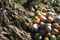 Yellow, red, green and orange pumpkins in front of a stack of dried corn stalks. Royalty Free Stock Photo