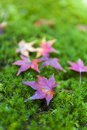 Yellow and red Japanese maple leaves fallen on green mossy groun Royalty Free Stock Photo