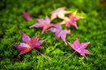 Yellow and red Japanese maple leaves fallen on green mossy ground Royalty Free Stock Photo