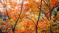 Yellow and red orange maple leave and big black branch with brig Royalty Free Stock Photo