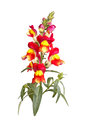 Yellow red and orange snapdragon flowers isolated on white single stem of of antirrhinum majus against a background Stock Image